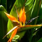 """Bird of Paradise painted"" by DickGoodman"