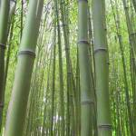 """IMG_6726 bamboo"" by DickGoodman"