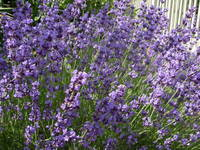 lavender in splendor