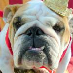 """Norma the English Bulldog is Ready for the State F"" by dogscatskidslife"