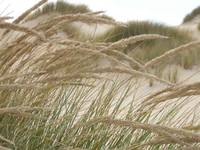 Grasses on the dune