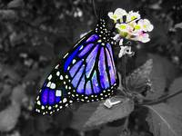 Colored butterfly on black and white
