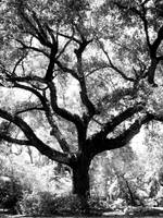 Live Oak Shadow