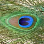 """Eye of the Peacock"" by stockphotos"