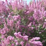 """""""Sea of Pink"""" by Jarannis"""