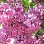 """""""Pink Flower Tree 2"""" by Jarannis"""