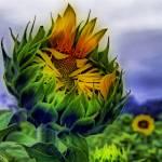 """""""Awakened Sun"""" by budrfli"""