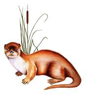 Otter with cattails