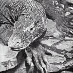 """Komodo Dragon"" by birthdaygifts"