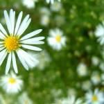 """""""Daisy, daisy"""" by ZedBee"""