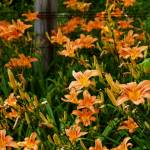 """Day Lilies"" by StonePhotos"