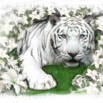 """white tiger lilly"" by paulshipper"