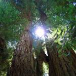 """""""redwoods"""" by Shappell"""