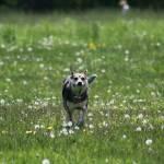 """Kiara running in grass"" by kiaradiva"