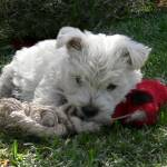 """West Highland White Terrier Puppy"" by Westie"
