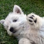 """Playful Puppy"" by Westie"