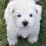 """""""Westie Puppy"""" by Westie"""