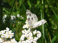 White Butterfly