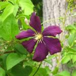 """Purple Flower"" by amywungluck"
