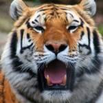 """""""Sumatran Tiger Potrait"""" by friend_cuttack"""