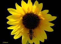 Something-thirty Sunflower Bee