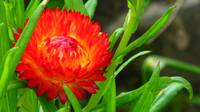 Flaming Helichrysum