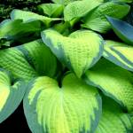 """Hosta IMG_7920"" by DickGoodman"