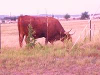 Brown Bull At Breakfast