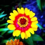 """""""ISU Flower3"""" by LauraMillen"""
