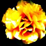 """""""Yellow Rose"""" by LauraMillen"""