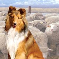 shelty with sheep
