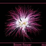 """Like fire works... its a flower"" by ccader"