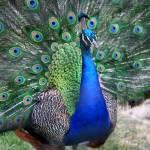"""""""Peacock"""" by melissaanderson"""