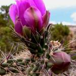 """Cactus Blossom Buds - New Mexico Wildflower"" by rayjacque"