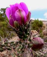 Cactus Blossom Buds - New Mexico Wildflower