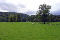 Sheep at Ilam  (14564-RDA)