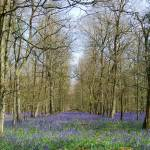 """Bluebells"" by mariawhyte"