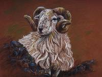 The Scottish Ram