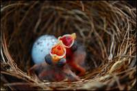 baby robins