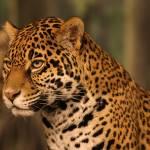 """""""Jaguar"""" by dimensionalelements"""