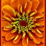 """Zinnia Blooming"" by petemeade61"