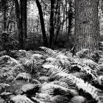 """Fern Wood"" by westhillphoto"