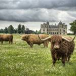 """Highland Cattle, Charlton Park House"" by shortwork"