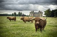 Highland Cattle, Charlton Park House