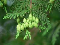 White Cedar Fruit