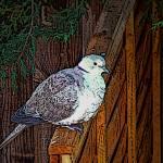 """Pigeon - graphic"" by maistora"
