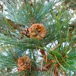 """Pine Cones"" by blipfish"
