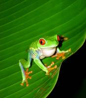 Red-Eyed Tree Frog