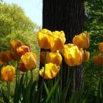 """""""Tulips, Highland Park"""" by jlnphotography"""