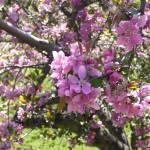 """Crabapple Blossoms, Highland Park"" by jlnphotography"